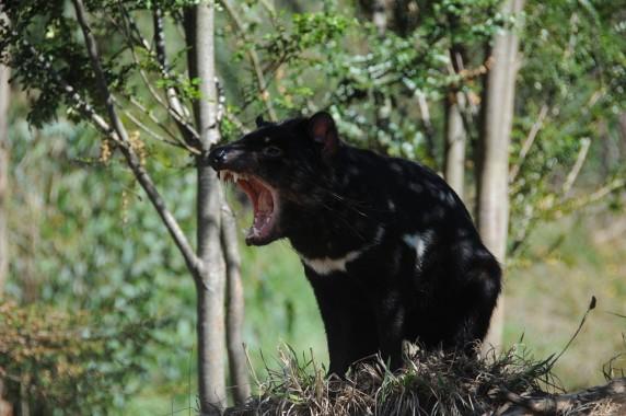 Tasmanie (21)