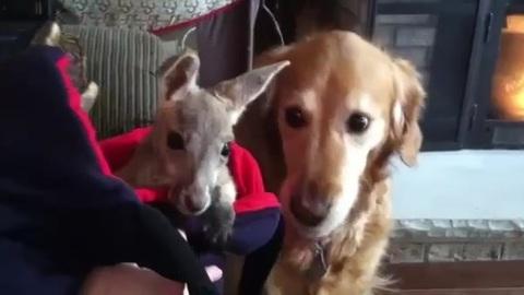golden kangourous