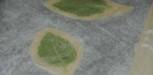 crosutillants de basilic et feuilles de brick