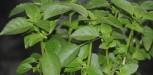 Panna cotta basilic