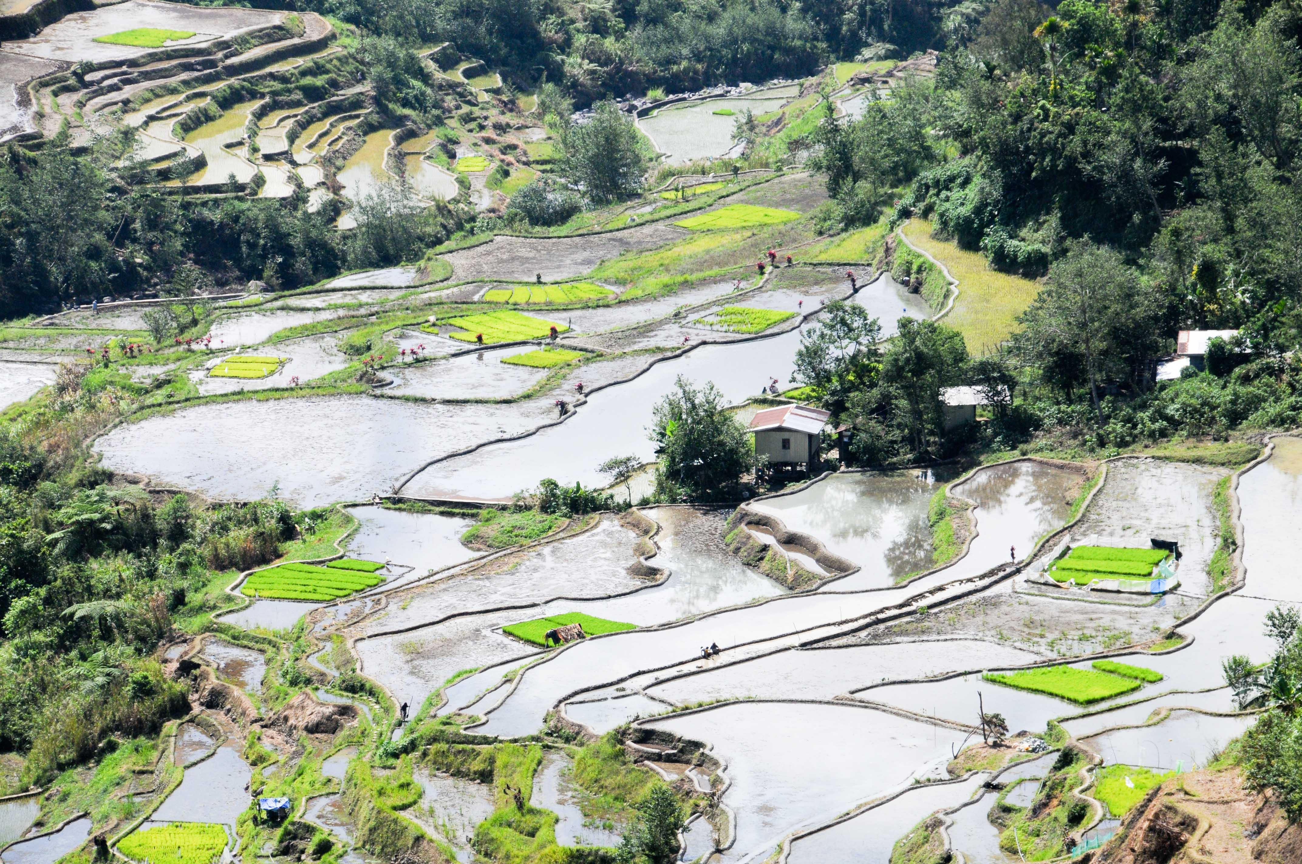 La culture du riz... De la rizière à l'assiette!