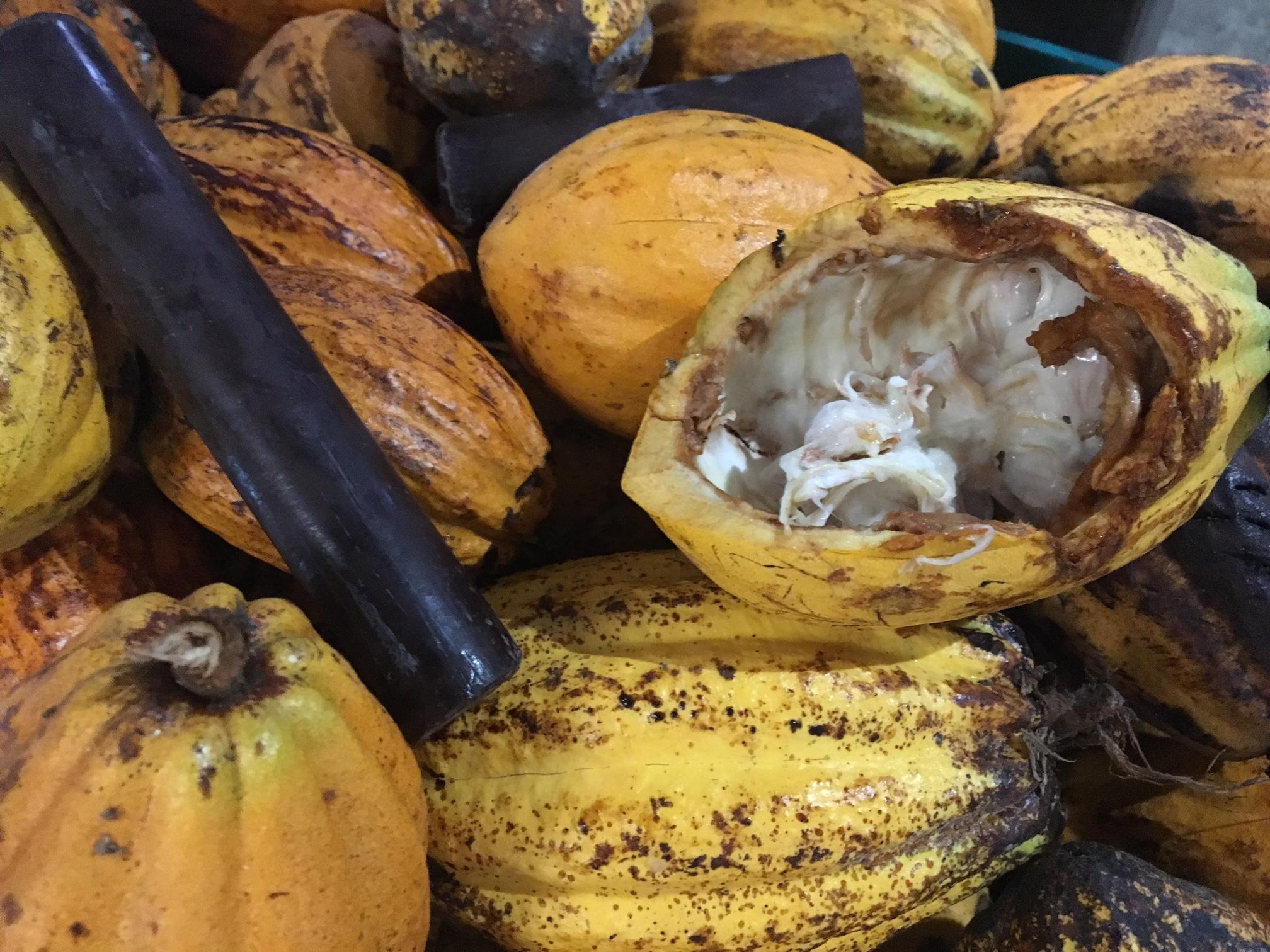 Du cacao au chocolat... Habitation Céron, Martinique Chefs Festival