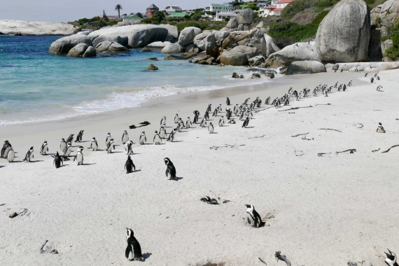 Boulders Beach South Africa (12)