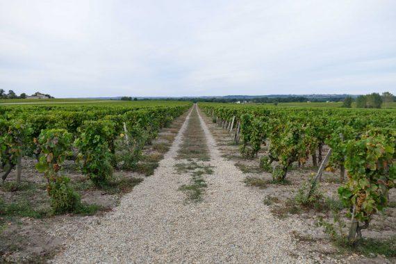 Dans les vignes Lafaurie Peyraguey