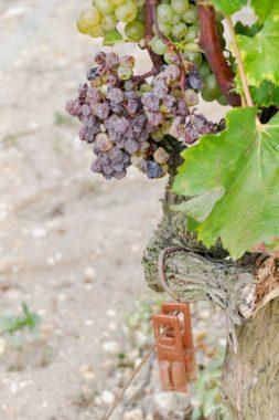Raisin vin vignoble Lafaurie Peyraguey