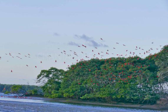 Ibis rouge dans le Nordeste du Brésil