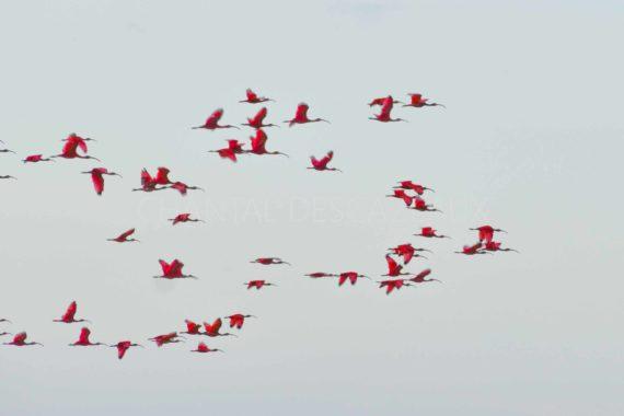 ibis rouges